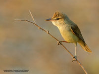 Clamorous Reed-Warbler Scientific name - Acrocephalus stentoreus