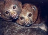 photograph of a pair of pottos : Perodicticus potto