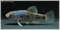 Cyprinodon rubrofluviatilis, Red River pupfish: aquarium