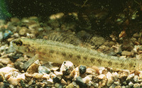 Etheostoma fusiforme, Swamp darter: