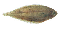 Solea elongata, Elongate sole: fisheries