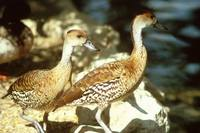 Dendrocygna guttata - Spotted Whistling-Duck