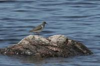 Actitis macularia - Spotted Sandpiper
