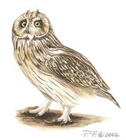 Image of: asio flammeus (short-eared owl)