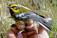 Image of: Dendroica townsendi (Townsend's warbler)