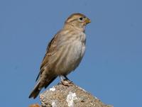 Image of: Petronia petronia (rock sparrow)