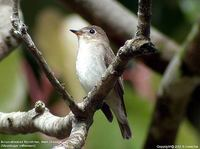 Brown-streaked Flycatcher - Muscicapa williamsoni