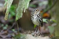 Spectacled (Streak-chested) Antpitta (Hylopezus perspicillatus) photo