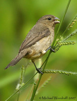 Dull-colored Grassquit - Tiaris obscura