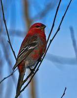 Pine Grosbeak - Male