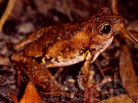 : Litoria peronii; Peron's Tree Frog