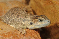 : Xenagama taylori; Shield-tailed Agama