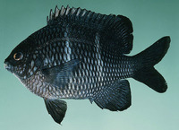 Plectroglyphidodon sindonis, Rock damselfish: aquarium
