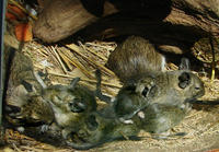 Image of: Octodon degus (degu)