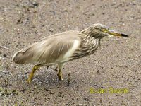 Ardeola grayii - Indian Pond-Heron