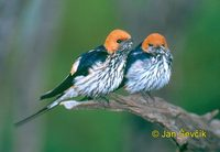 Hirundo abyssinica - Lesser Striped-Swallow