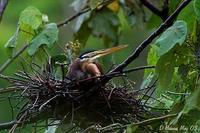 Image of: Ardea purpurea (purple heron)