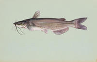 Image of: Ictalurus punctatus (channel catfish)