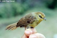 Pin-striped Tit Babbler - Macronous gularis