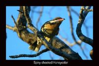 Spiny cheeked Honeyeater