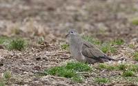 Black-winged Ground-Dove (Metriopelia melanoptera) photo