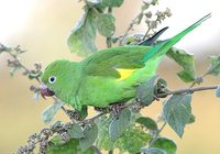 Yellow-chevroned Parakeet - Brotogeris chiriri