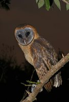 Ashy-faced Owl - Tyto glaucops