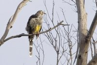 Yellow Wattlebird - Anthochaera paradoxa