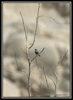 Slender-billed Finch 1