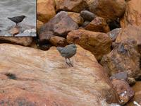 Adult and juvenile brown dipper Cinclus pallasii