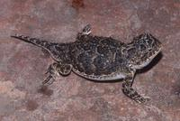 : Phrynosoma douglasii; Pygmy Short-horned Lizard