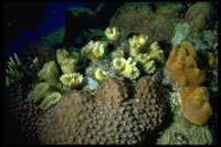 : Eusmilia fastigiata; Smooth Flower Coral