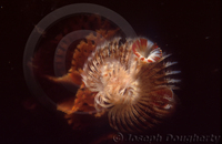 : Spirobranchus spinosus; Christmas Tree Worm