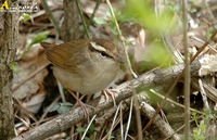 Fig. 1. Short-tailed Bush Warbler : 숲새