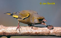 Photo of zvonek zelený, Carduelis chloris, Greenfinch, Grunling.