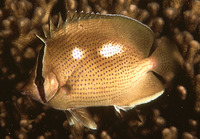Chaetodon citrinellus, Speckled butterflyfish: fisheries, aquarium