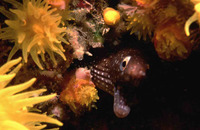 Echidna peli, Pebbletooth moray: fisheries