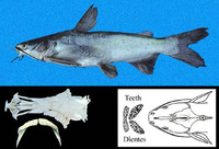 Cathorops fuerthii, Congo sea catfish: fisheries