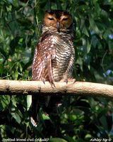 Spotted Wood Owl - Strix seloputo