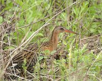 King Rail - Rallus elegans