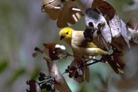 White-plumed Honeyeater - Lichenostomus penicillatus