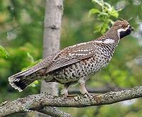...the delightful Hazel Grouse (Pete Morris)