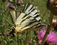 Iphiclides podalirius - Scarce Swallowtail