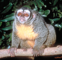Owl monkey (Aotus sp.)