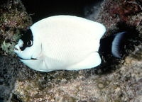 Genicanthus personatus, Masked angelfish: aquarium