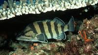 Acanthistius cinctus, Yellowbanded perch: