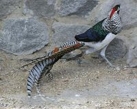 Chrysolophus amherstiae - Lady Amherst's Pheasant