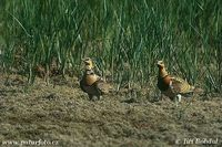 Pterocles alchata - Pin-tailed Sandgrouse