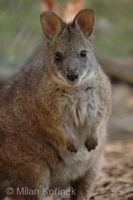 Macropus eugenii - Tammar Wallaby