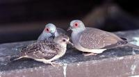 Image of: Geopelia cuneata (diamond dove)